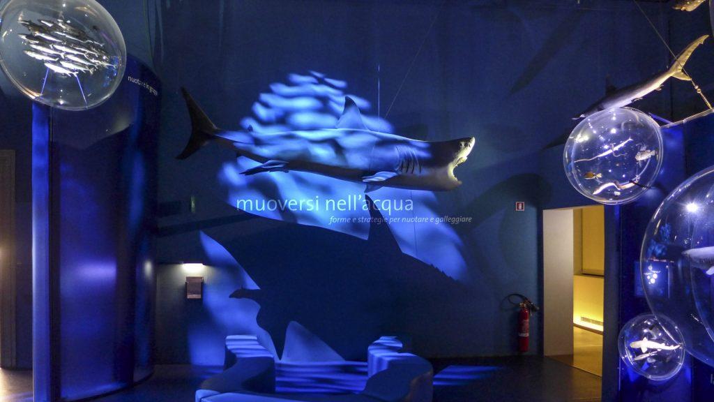 Lo squalo bianco di tre metri e mezzo catturato nel 1902 vicino a Trieste